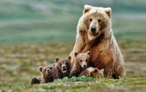 Jeden z největších masožravých savců medvěd hnědý
