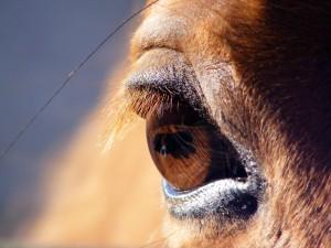 Většina býložravců má zorničky orientovány horizontálně. Vidí svět jako širokoúhlý film.