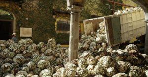 Jádro váží většinou kolem 40 kg. Z toho vznikne přibližně 6 litrů tequily.