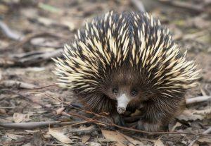 Ježura australská vykazuje znaky savců a některé podobné plazům.