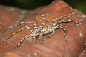 Pavouci z rodu selenopovitých, které Yanoviak zkoumal, loví v noci a dorůstají 7 cm.