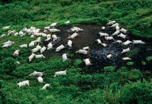 K největšímu neštěstí došlo v roce 1968, kdy plyn zabil mimo dobytka 1700 lidí.