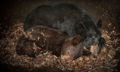 Důvodem k hibernaci není čistě jen snaha uniknout chladu, ale i nutnost vyhnout se období s nedostatečnou zásobou živin.