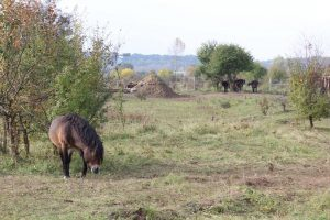 Divocí koně v Přírodní rezervaci Milovice
