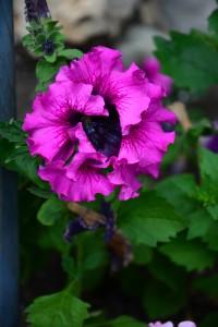 Petúnie Grandiflora