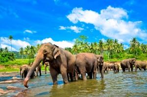 Na Šrí Lance můžete pozorovat slony