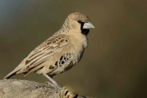 Snovač pospolitý je velký přibližně jako vrabec domácí.