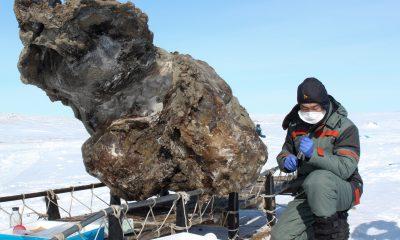 Výzkumný pracovník pracující blízko těla mamuta