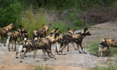 Samci psů hyenových odmítnutí partnerkou se vracejí ke své rodné smečce a vypomáhají s výchovou mláďat.