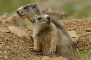 Svišti horští (Marmota marmota) patří mezi zvířata, která tráví chladné období roku ve stavu strnulosti.