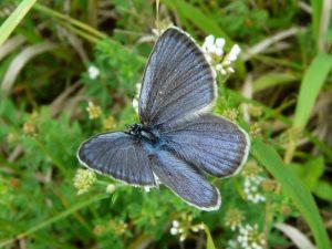Modrásek hořcový Rebelův, (Maculinea alcon f. Rebeli)