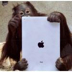 Orangutani se svou novou hračkou