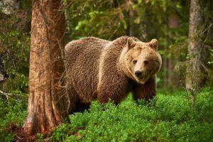 Setkání s medvědem hnědým nemusí být příjemné