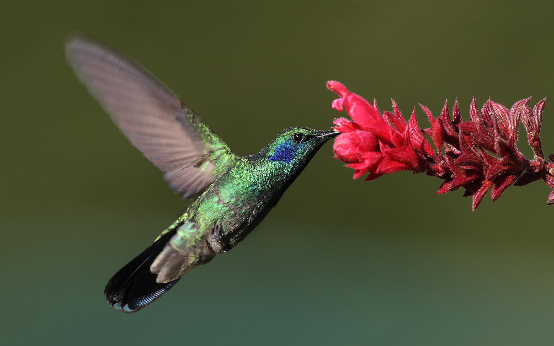 """Kolibříkům se říká """"létající drahokamy"""" kvůli velikosti a pestrobarevnosti. Jejich váha by se spíš měla počítat v karátech než gramech."""