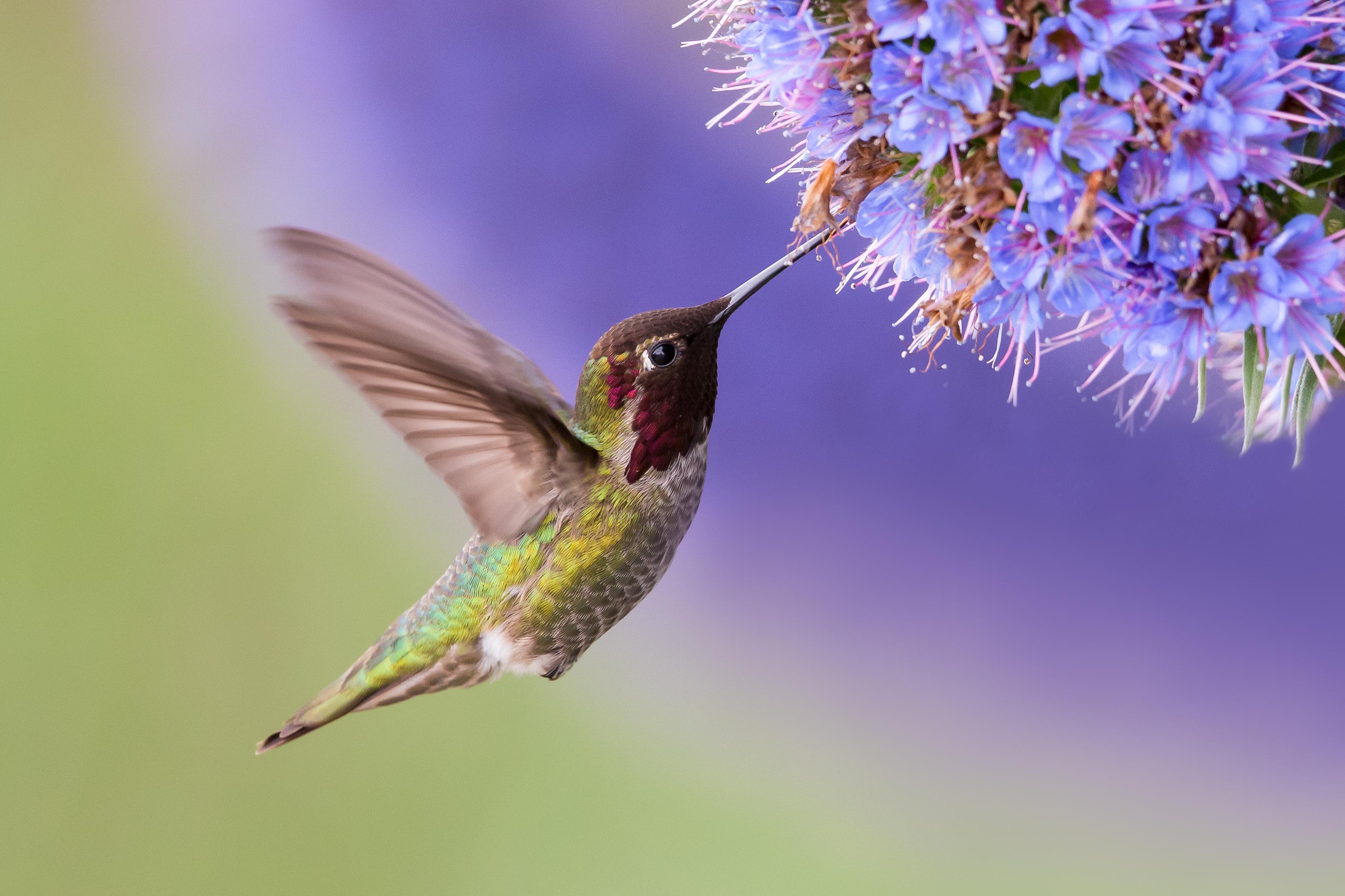 Kdyby měl kolibřík velikost člověka, potřeboval by tolik energie, kolik spálí 10 maratonských běžců?