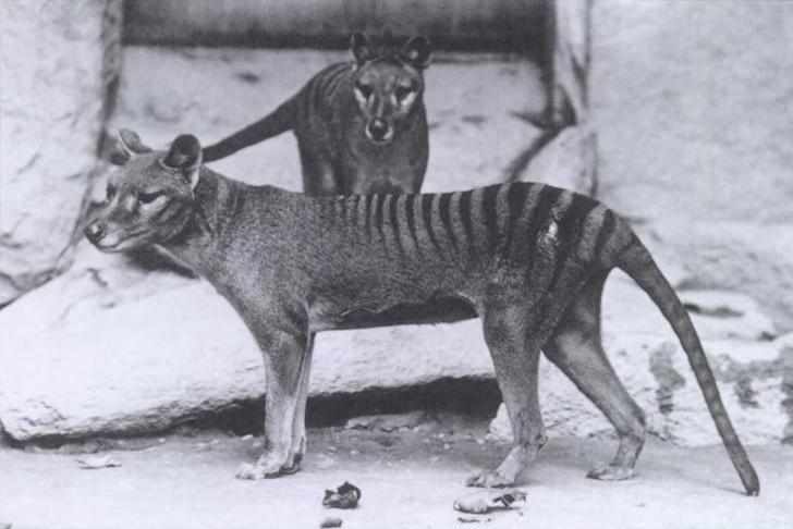 Vakovlk tasmánský byl za vyhynulého oficiálně prohlášen v roce 1936. Občas sice pronikne na veřejnost zpráva, že byl spatřen, ale pozorování se nikdy nepodařilo potvrdit.