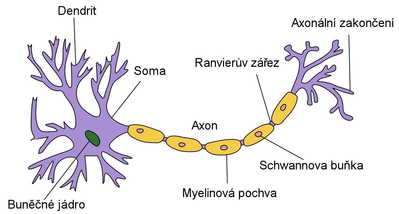 Neurony jsou vysoce specializované buňky schopné zpracovávat signály z mozku.
