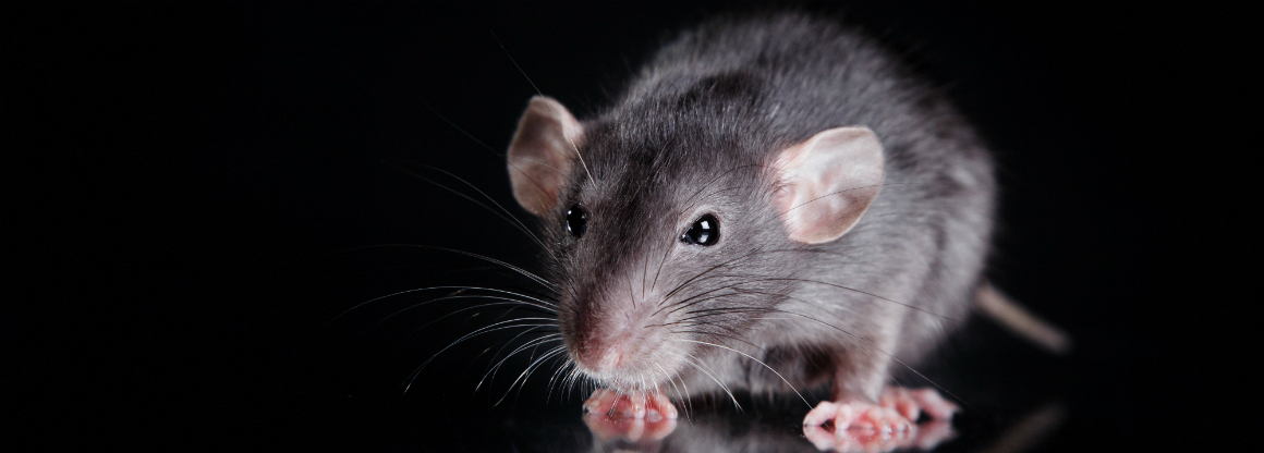 krysa rod rozvedený rodič seznamka