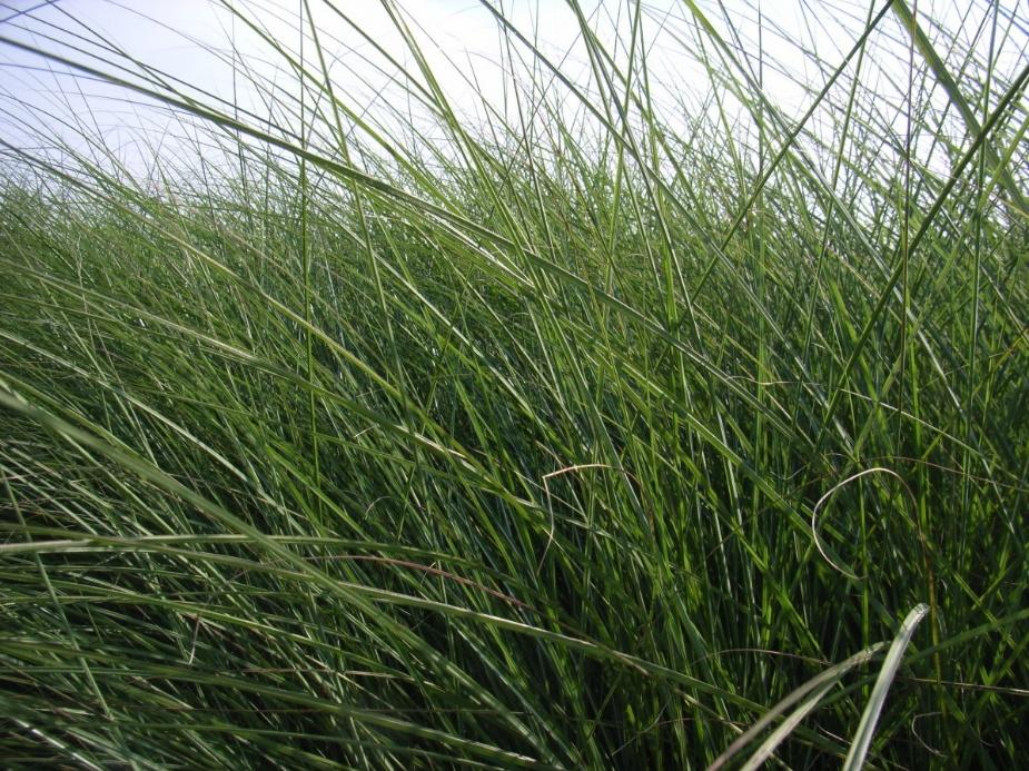 Trávy jsou stejně jako většina rostlin závislé na dostatku vláhy.