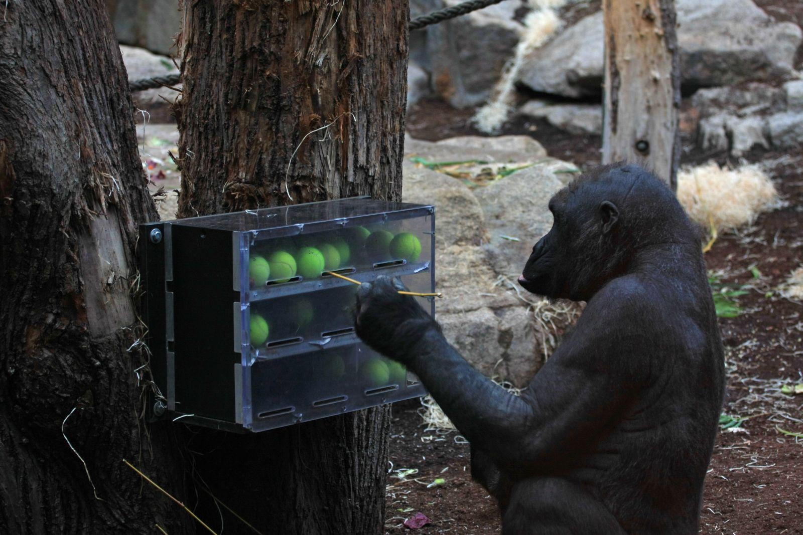 Šimpanzi si vyrábí nástroje, které i ve svůj prospěch využívají.