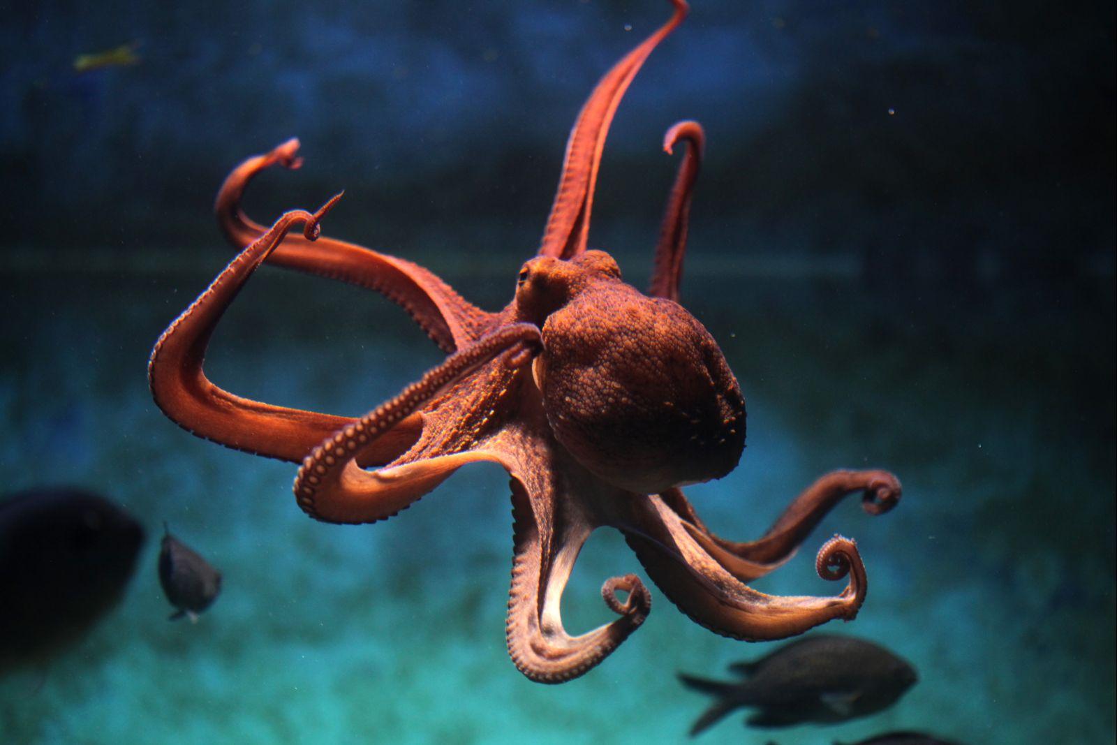 Chobotnice mají velmi dobrou paměť a výborně se orientují.