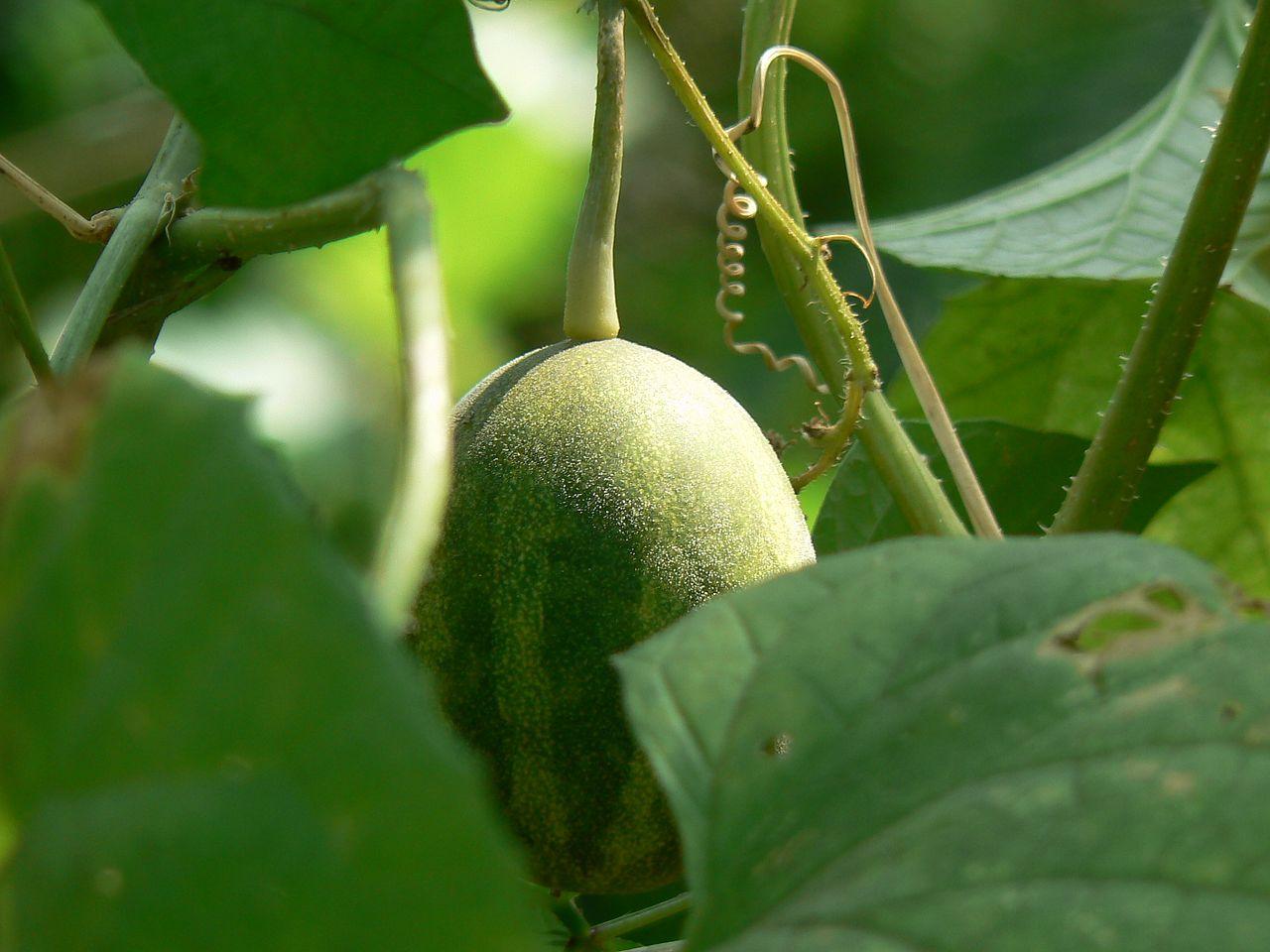 Melouny se běžně pěstují i v České republice.