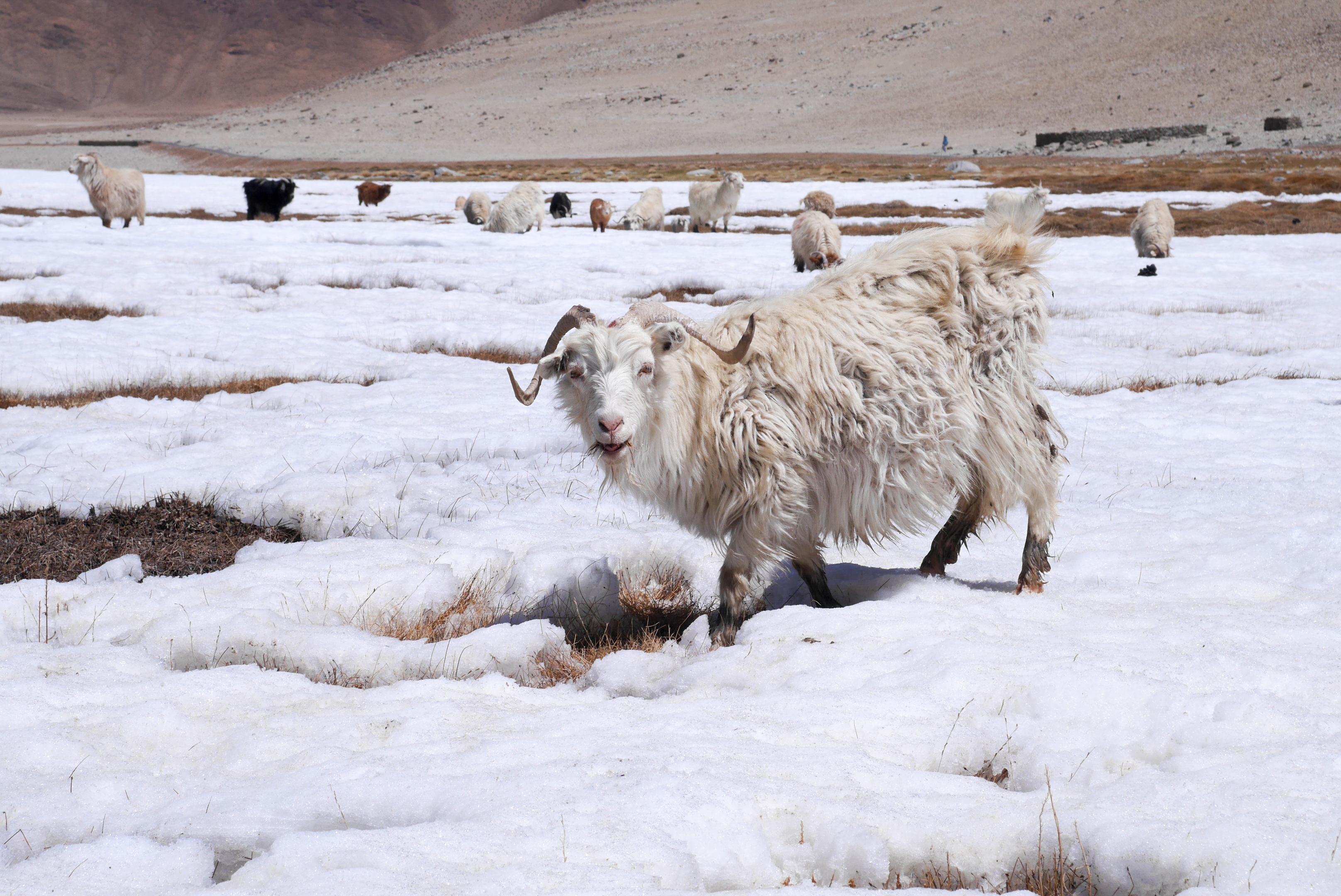 Kašmírských koz ubývá