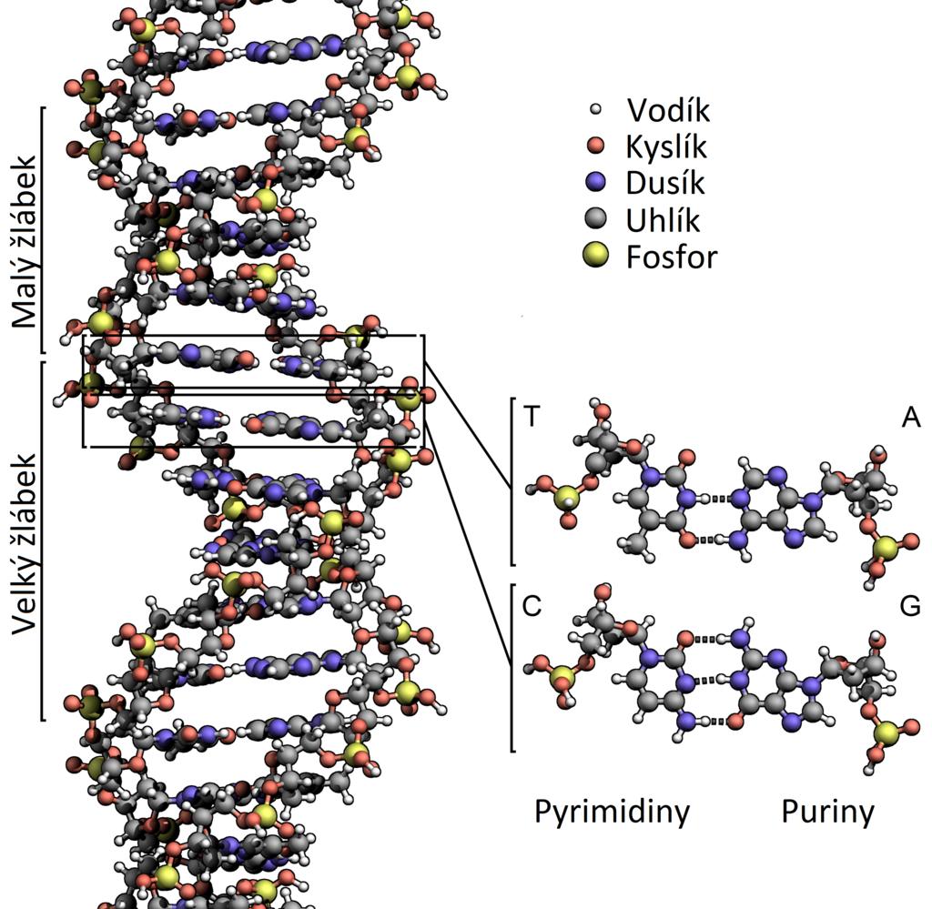 Struktura dvoušroubovice DNA. V této formě se vyskytuje většina DNA například v lidských buňkách. Dvoušroubovice je tvořena dvěma řetězci nukleotidů.