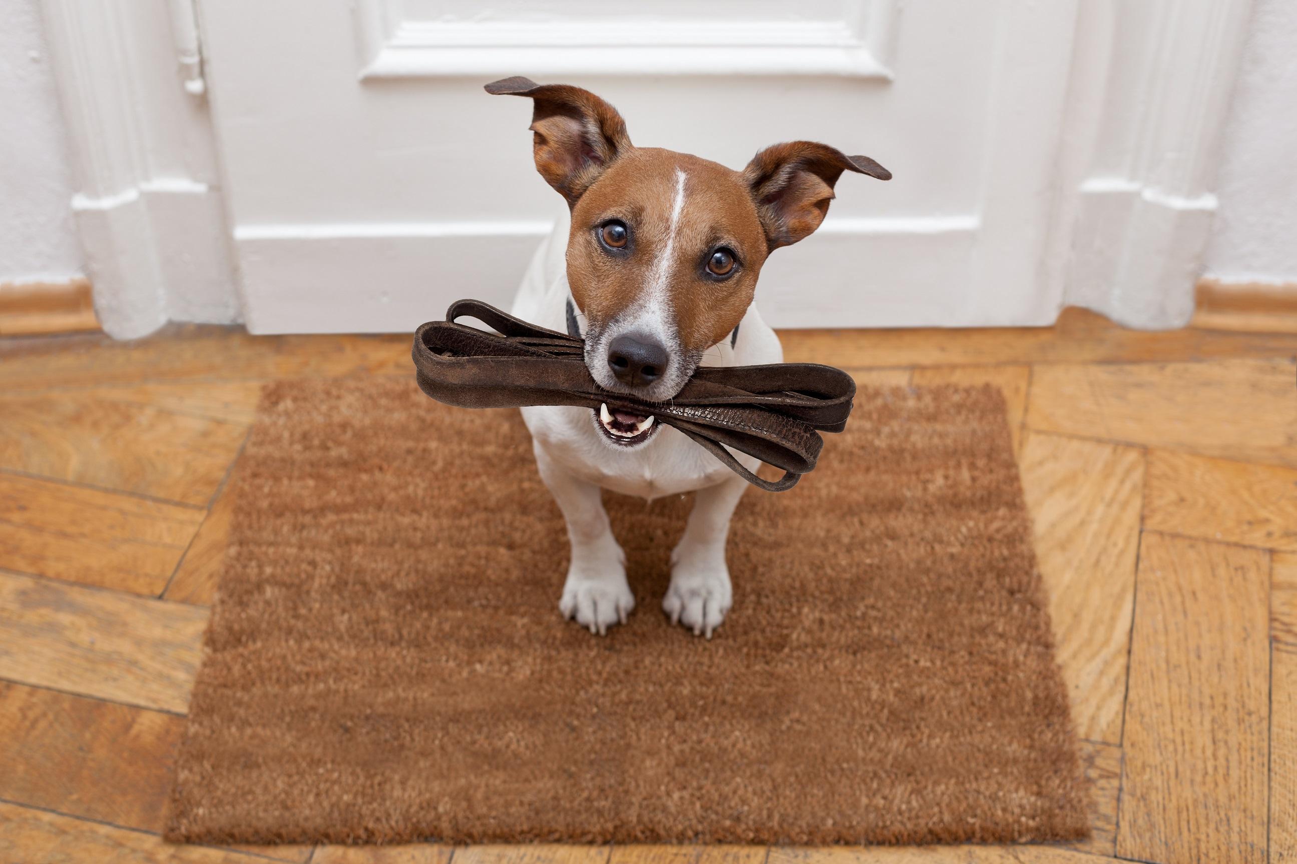 Nakloněná hlava, smutný psí pohled a vodítko v zubech, aby bylo jasno.
