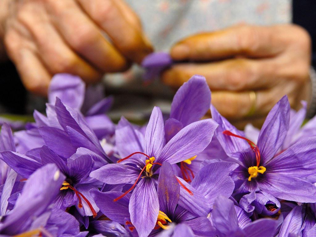 Odhaduje se, že z přibližně 145 tisíc květů se vyprodukuje kilogram šafránu.