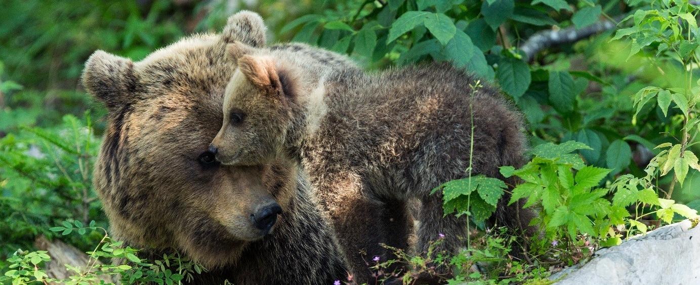 Medvěd hnědý, dokážeme s ním žít?