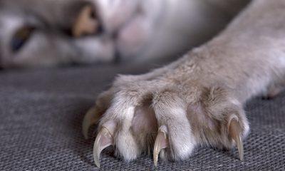 Jak už vyplývá z názvu nemoci, k přenosu dochází nejčastěji kočičím škrábnutím.