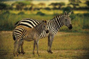 S africkými zebrami mnoho společného nemáme. Až na složení mléka.