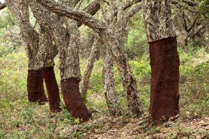 Jeden korkový dub za svůj 200 let dlouhý život odevzdá až 2 000 kg korku.