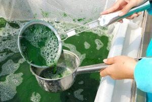 Sběr spireiny na farmě. Vytvořit pro ni prostředí v nádržích je snadné.