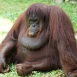 Orangutani nežijí v pevných svazcích. Dominantní samec si obsazuje poměrně velké území a zde se páří s více samicemi.