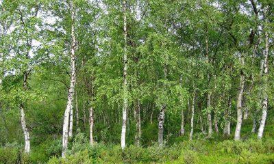 Různé druhy bříz se vyskytují ve většině světa.