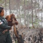 Orangutani jsou kriticky ohroženým druhem