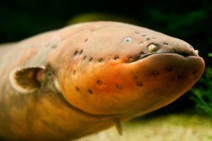 I když má paúhoř elektrický hadovité tělo, ve skutečnosti nejde o úhoře, ale o rybu z rodu paúhořů, která má blíže ke kaprovi či sumcovi.