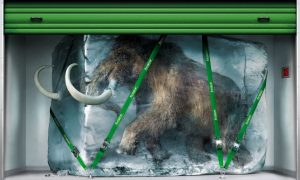 Populární mýtus tvrdí, že mamuti zamrzlí v ledu jsou perfektně zachováni. Ve většině případů ale tělo vykazuje známky rozkladu ještě před zmrznutím.