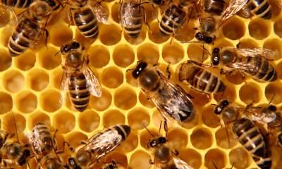 Jev nazývaný jako syndrom rozpadu včelstev se začal objevovat v USA a rozšířil se po celém světě. Včely prostě přes zimu zmizely z úlu.