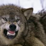 Vlci jsou geneticky velmi blízcí psům. Přesto však jeden z nich nemůže být nikdy plně ochočen a druhý je nejlepším přítelem člověka.