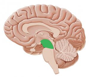 Poslední výzkumy ukazují, že v lidském mozku, konkrétně v jeho kmeni se nachází oblast, která je s osamělostí provázaná.