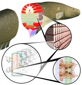 Většinu těla paúhoře zabírají unikátní buňky, které generují elektrickou energii, nazývají se elektrocyty.