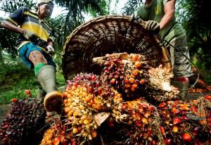 Ročně se na světě vyrobí 60 milionů tun palmového oleje. Nejvíce pochází z Indonésie a Malajsie. Dohromady přes 50 milionů tun.