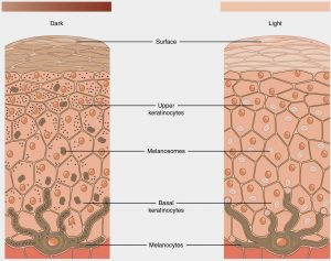Zbarvení pleti má na svědomí pigment nazývaný melanin, který v kůži vytvářejí buňky melanocyty. Všechny etnické skupiny přitom mají ve své kůži podobné množství melanocytů. Liší se jen jejich aktivita a seskupení.