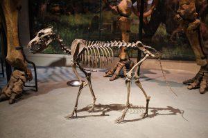 Homo sapiens zřejmě využíval psů jako pomocníků. Vystopovat počátky domestikace je ale velice nesnadné.