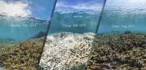 Stačí, aby teplota moře stoupla o jediný stupeň Celsia oproti průměru, a koráli začnou umírat. Přijdou totiž o mikroorganismy, bez kterých nemohou přežít, což navenek vypadá jako blednutí.