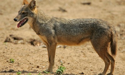 Hlavním predátorem šakala obecného je vlk.