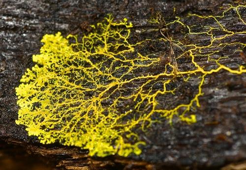 Hlenky jsou na první pohled nevzhlednými organismy. Ve vlhkém prostředí na rozkládajících se stromech tvoří různobarevné slizovité povlaky.
